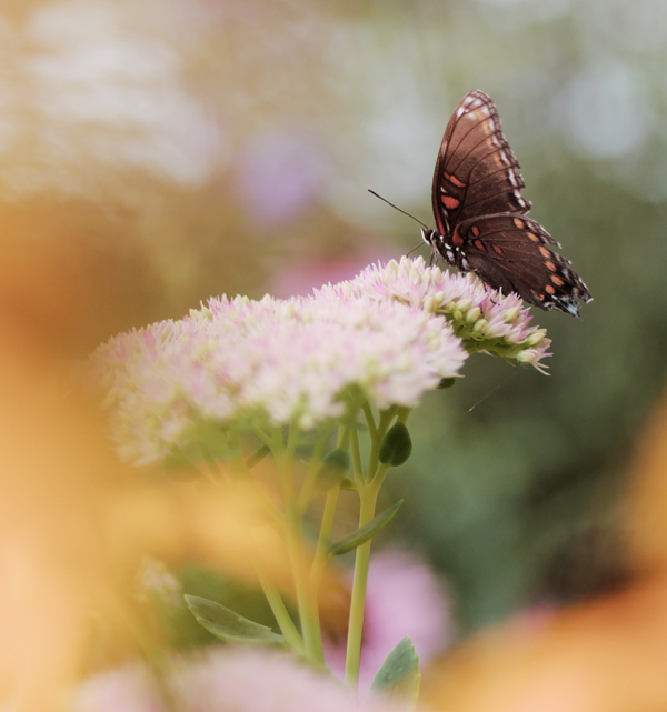 Image of butterfly on a pink bloom